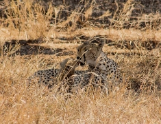 Cheetah is carefully cleaning her babies
