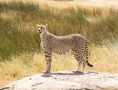 Female cheetah is looking for her babies