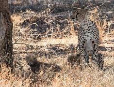 Gepardice ve stínu se svými mláďaty