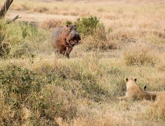 Hippo intimidating group of lions