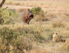 Hroch zastrašující smečku lvů