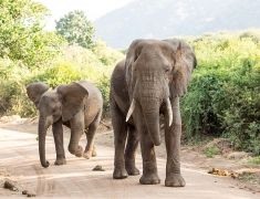 Velký slon hlídající své mládě