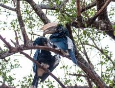 Hornbills on the tree