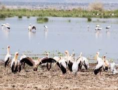 Pelicans on the lake Manyara