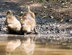 The two monkeys drinking water