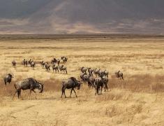 Wandering herd of wildebeest
