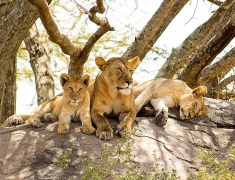 Lions on th rock