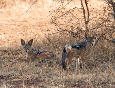 Jackals are very shy, it is difficult to watch them