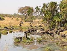 Stádo buvolů u jezera
