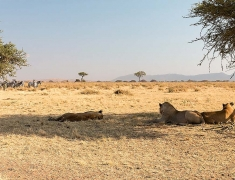 Lions were not showing strong interest about zebras