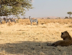 Group of zebras encounters with young lions