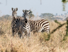 Vyčkávající zebry v bezpečné vzdálenosti