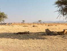 Lvy nevypadali že by o zebry jevili výrazný zájem