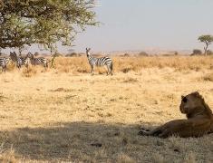Setkání zebřího stáda s mladými lvy
