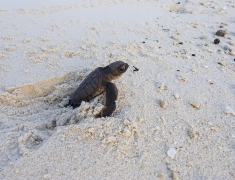 Mladá želvička při úprku do moře