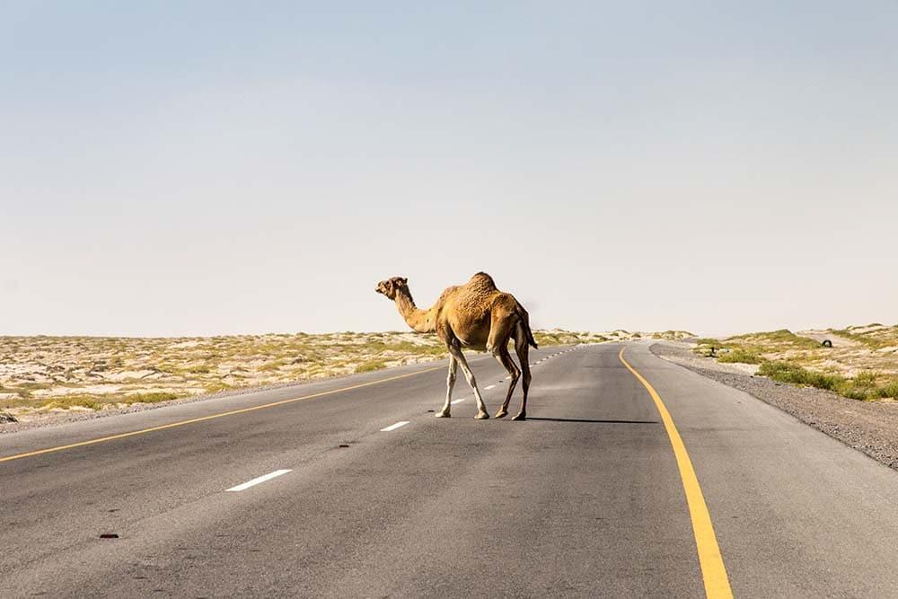 Velbloud přechází silnici v Ománu