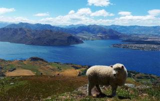 Ovce u Lake Wanaka