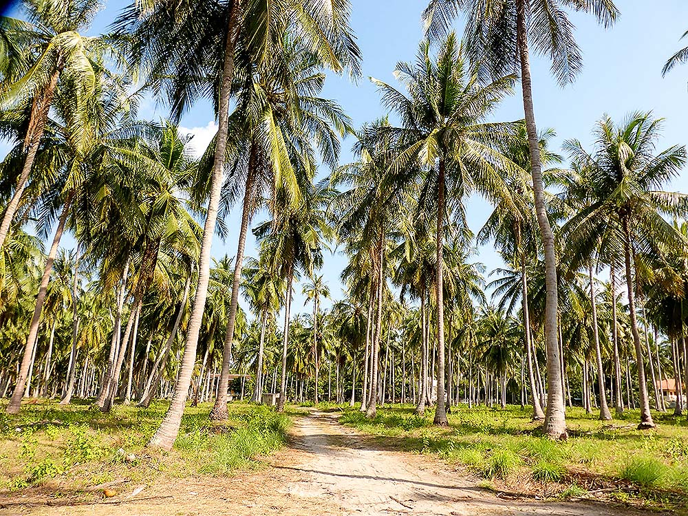 Palm small forest on the island of Koh Samui