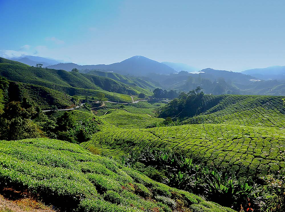 Cameron Highlands - tea plantations