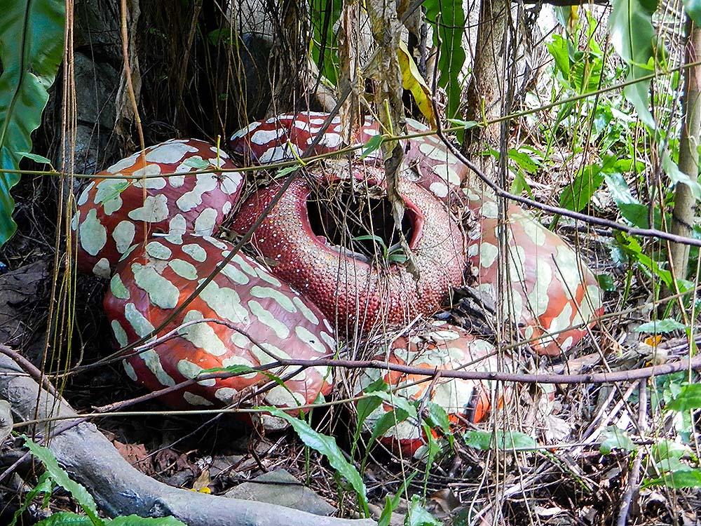 Rafflesia bloom