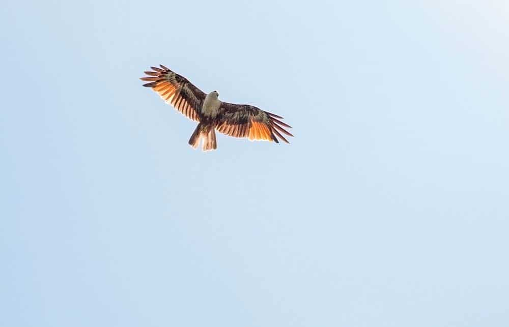 Reddish-brown eagle - the symbol of the island of Langkawi