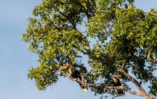 The Great hornbills on the tree
