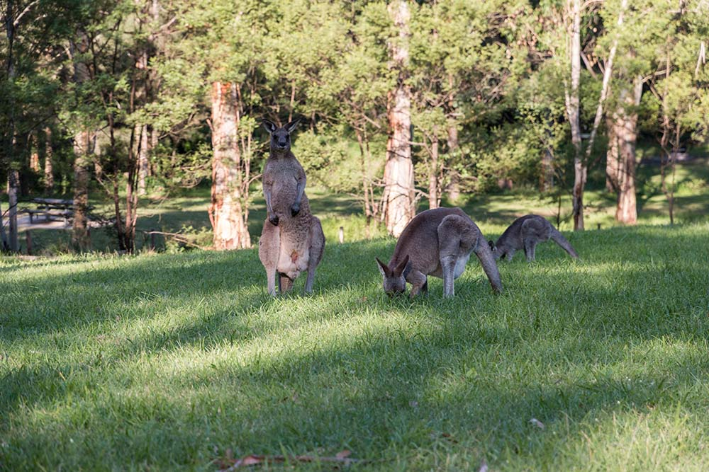 Wild kangaroos in the woods