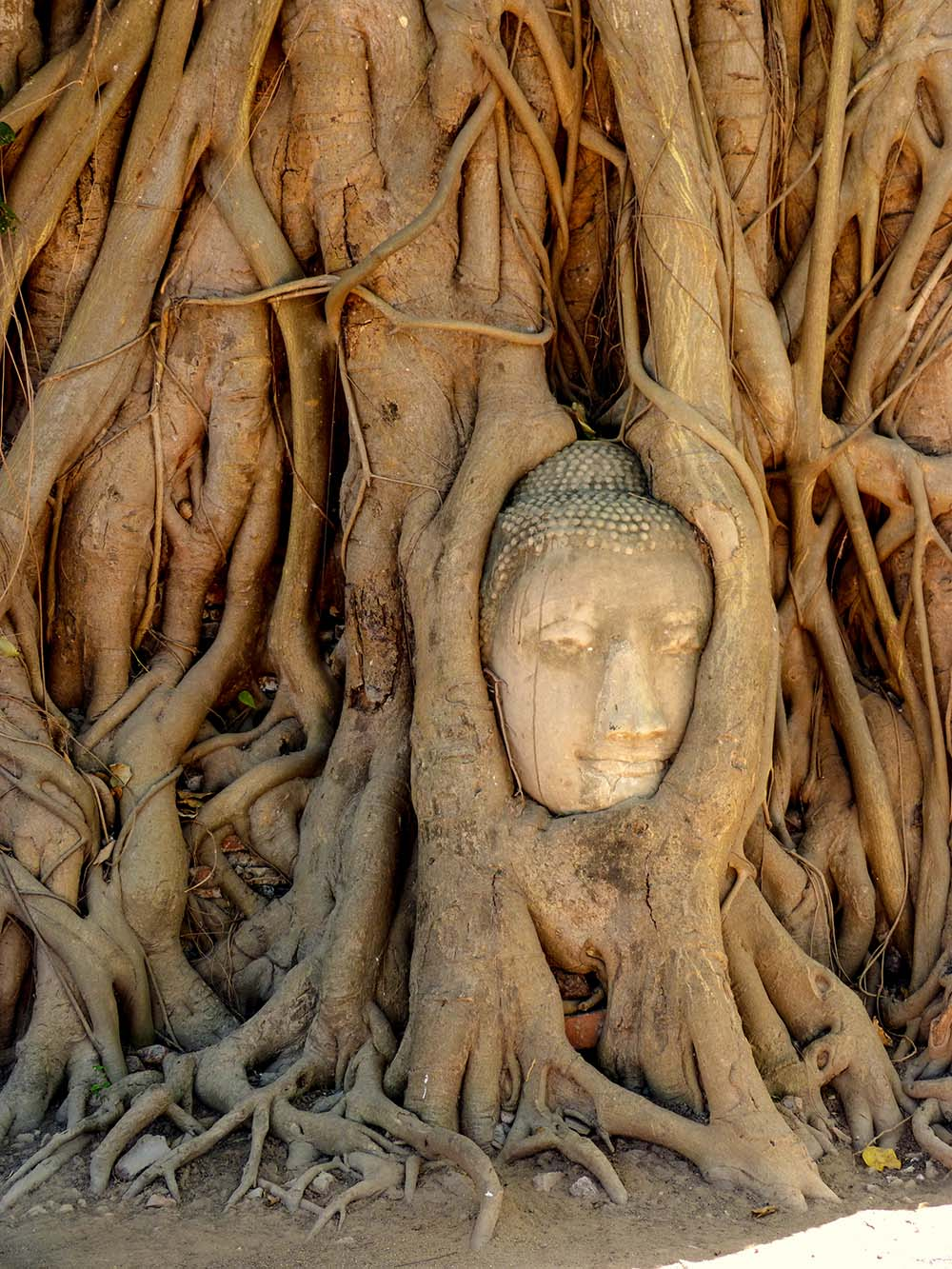 Buddha's iconic head grows into the roots of tropical trees