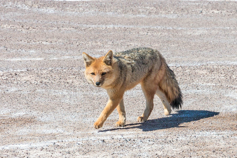 Pes horský (Lycalopex culpaeus)