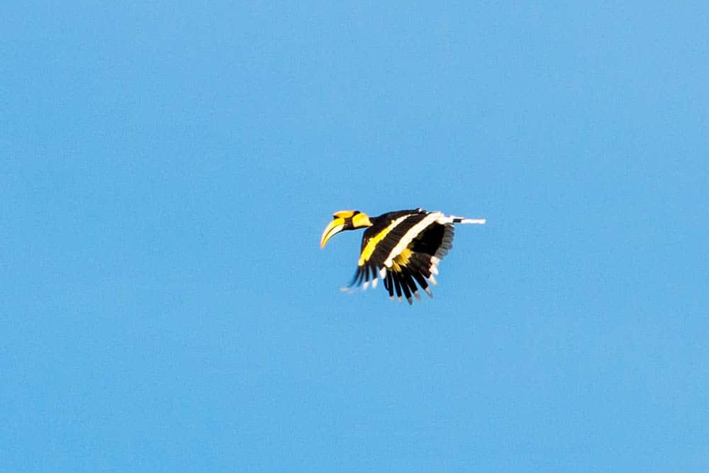 Flying Great Hornbill