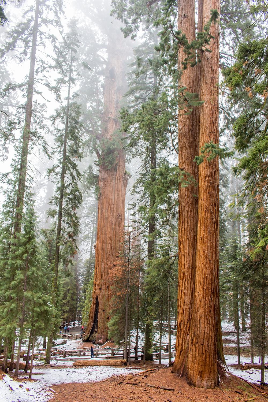 Sekvoje jsou naprosto úchvatné stromy